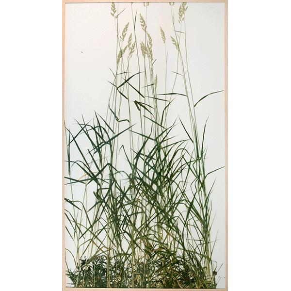 herman de vries<br/>großes rasenstück coll. eschenauer flur, 2015, preserved plants on paper, 183,5 x 103,5 cm